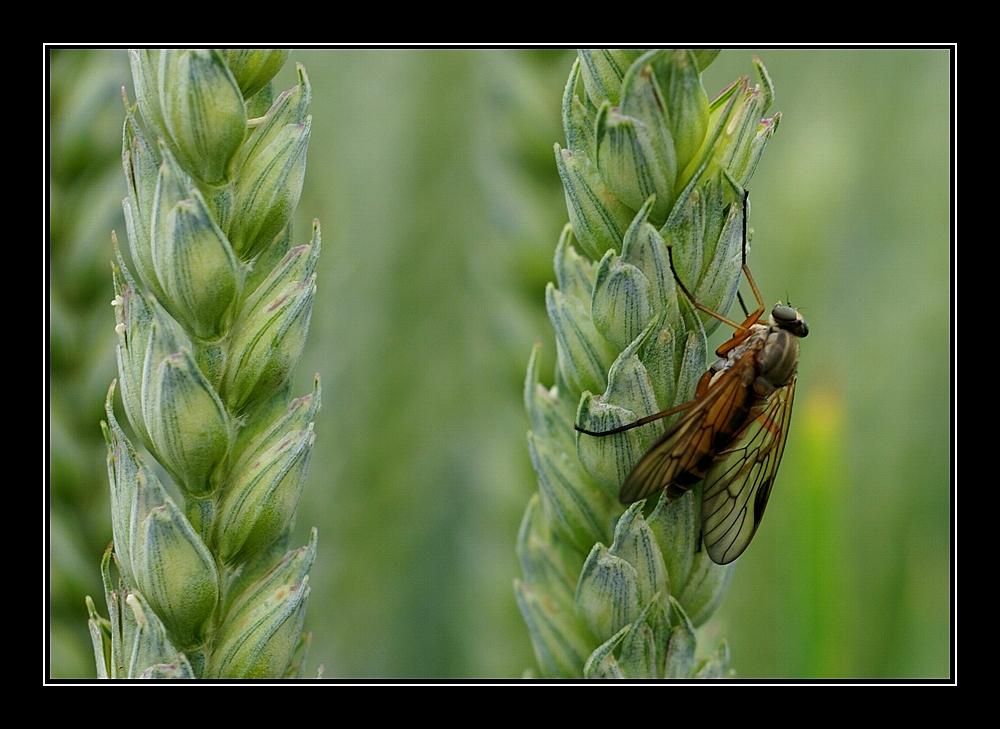 fliege im kornfeld 2