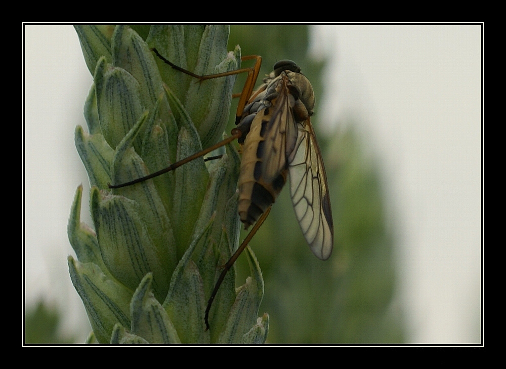 fliege im kornfeld 3