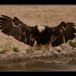 falconeria05