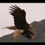 falconeria07