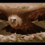 falconeria09