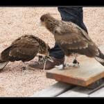 falconeria10